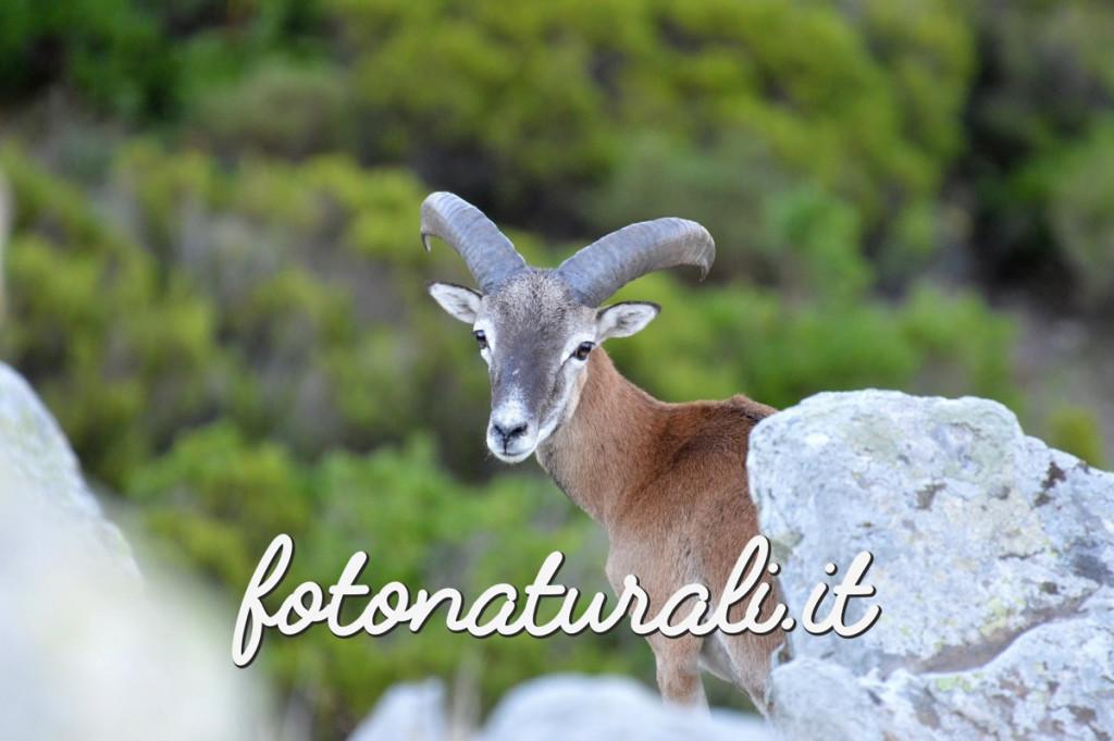 fotonaturali-muflone-15a01