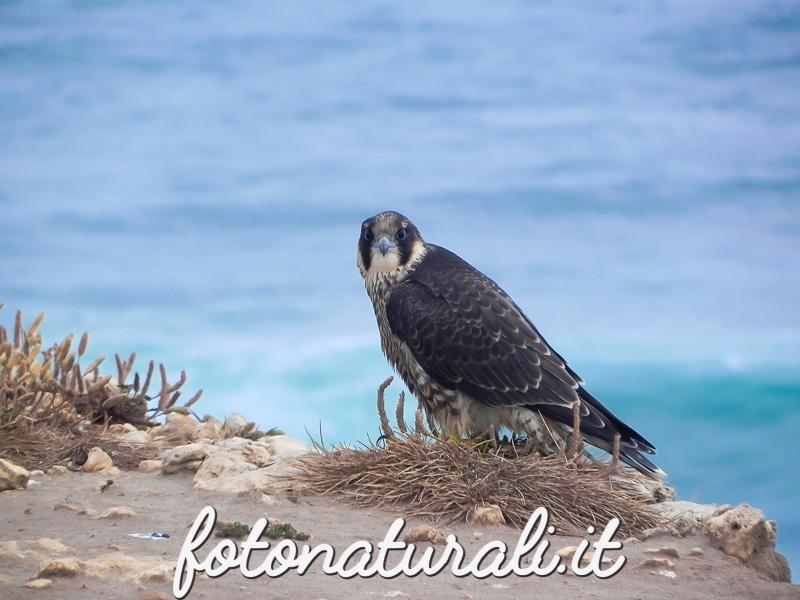 fotonaturali-falco-pellegrino-15a01