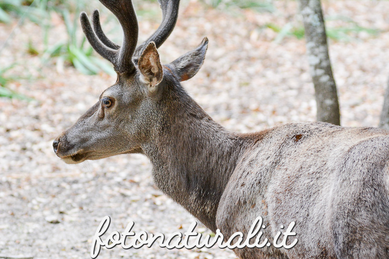 fotonaturali-cervo-15a51