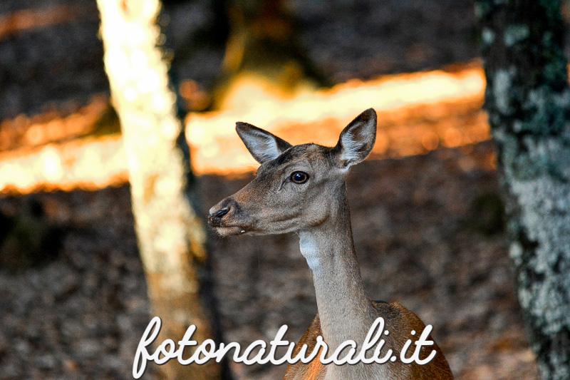 fotonaturali-daino-15a30