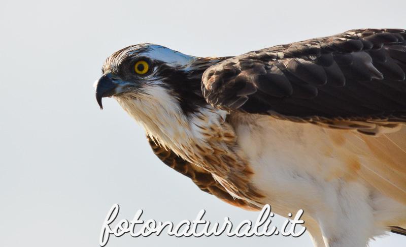 fotonaturali-falcopescatore-15a10