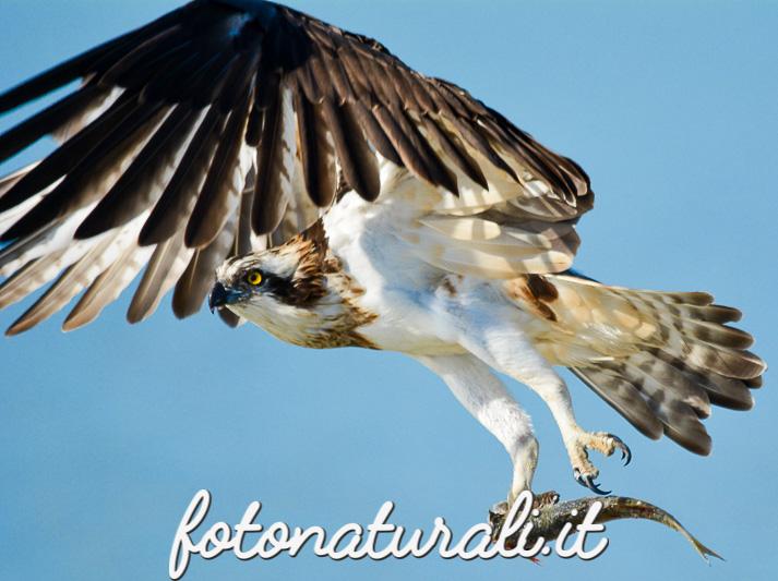 fotonaturali-falcopescatore-15a23