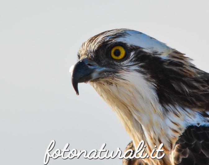 fotonaturali-falcopescatore-15a58