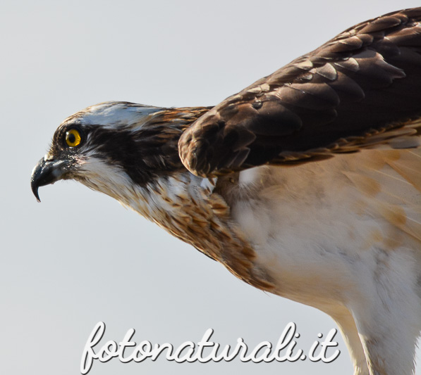 fotonaturali-falcopescatore-15a59