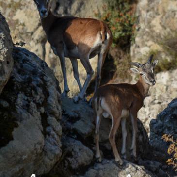 L'Incontro Amichevole con la Natura… Muflone Sardo