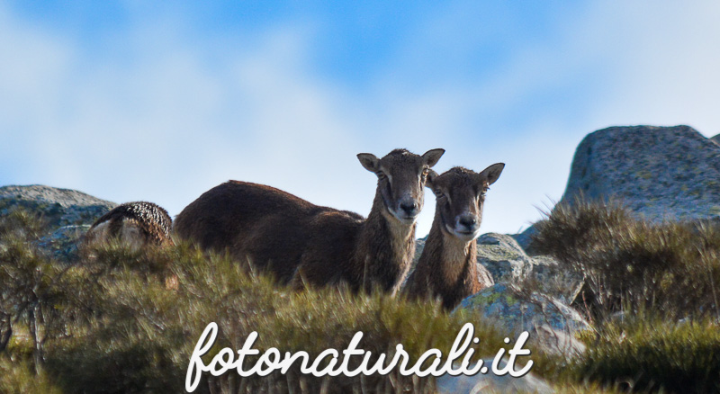 fotonaturali-muflone-15a61