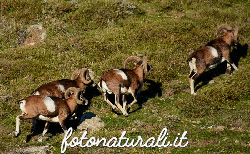fotonaturali-mufloniogliastra-15a06