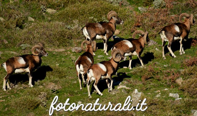 fotonaturali-mufloniogliastra-15a08