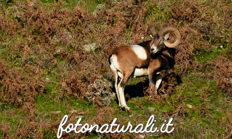 fotonaturali-mufloniogliastra-15a10