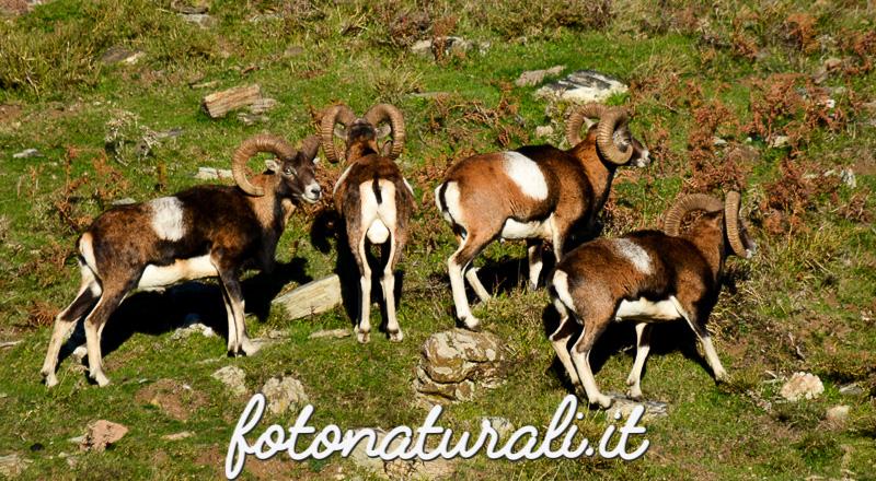 fotonaturali-mufloniogliastra-15a12