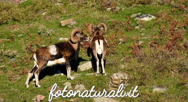 fotonaturali-mufloniogliastra-15a14