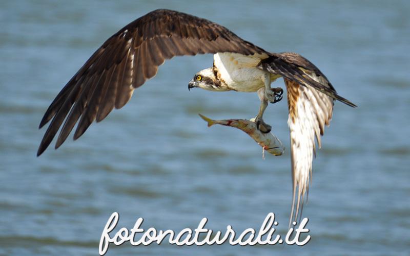 fotonaturali-falcopescatore-16a08