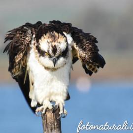 """Il Falco Pescatore. Un fantastico aristocratico in … """"Bianco Nero"""""""