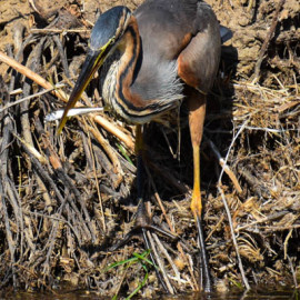 A pesca con l'Airone rosso (Ardea purpurea)