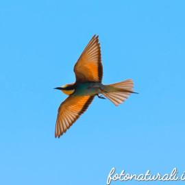 Nel nido del Gruccione( Merops apiaster). Un magico pennuto.