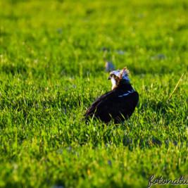 "Uccelli … al ""pascolo"" o…"