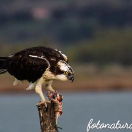 Un dignitoso appello. Falco Pescatore