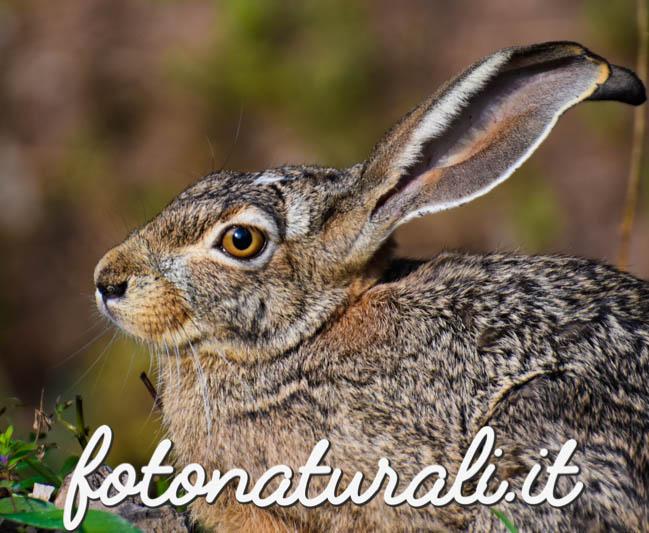 fotonaturali-lepresarda-18a15