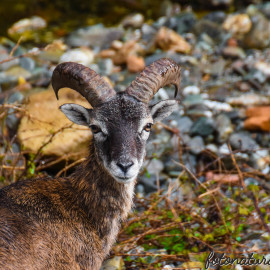 Sardegna… Terra dei Mufloni…