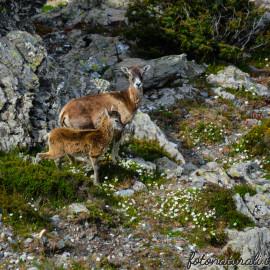 Visitando la Sardegna e … Piccoli Mufloni crescono.